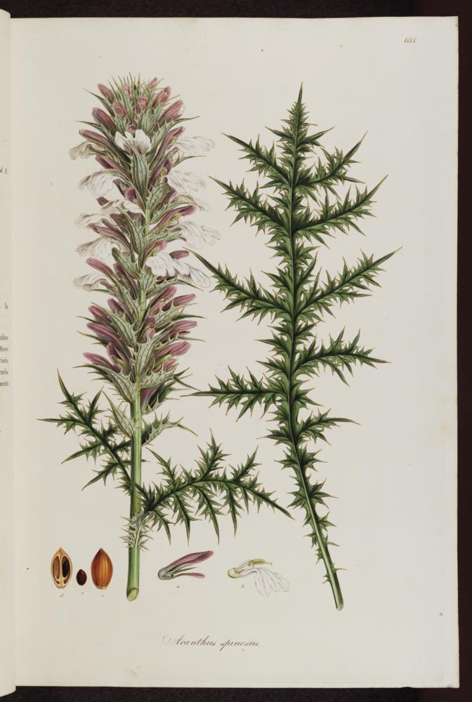 Acanthus Spinosissimus